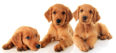 Three golden retriever puppies photo