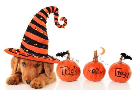 Schattige puppy dat een heksenhoed van Halloween