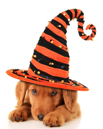 Cute puppy wearing a Halloween witch hat