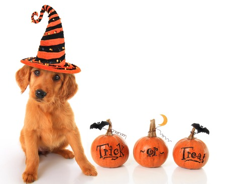 Cute puppy wearing a Halloween witch hat with pumpkins   Stock Photo