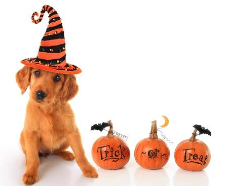 Perrito lindo con un sombrero de bruja de Halloween con calabazas