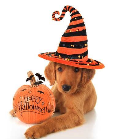 copy sapce: Cute Halloween puppy with a pumpkin