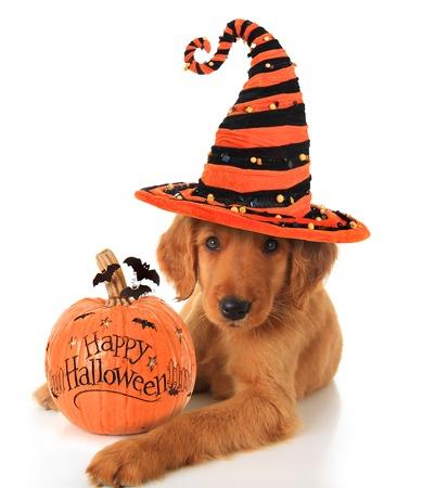 calabazas de halloween: Perrito lindo de Halloween con una calabaza