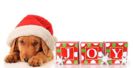 Christmas puppy wearing a Santa hat and JOY ornament   Stock Photo