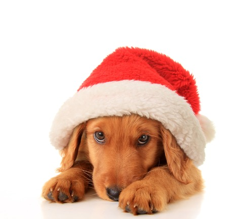 Christmas puppy wearing a Santa hat