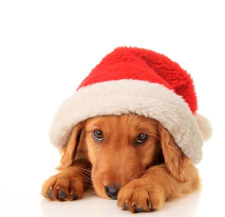 irish christmas: Christmas puppy wearing a Santa hat