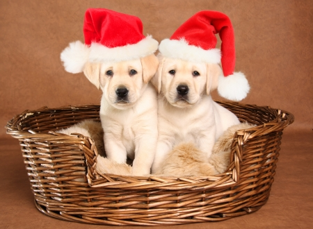 Two yellow lab Christmas puppies wearing Santa hats   Stock Photo