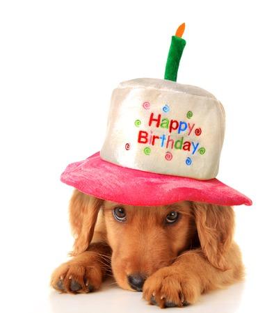 A golden retriever puppy wearing a happy birthday hat   Stock Photo