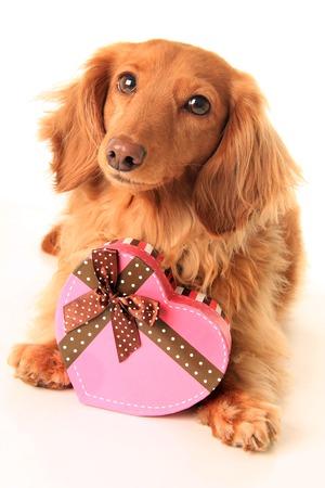 ダックスフンド (子犬) 心形ボックス バレンタインのお菓子