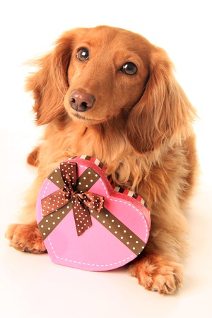 Dachshund puppy with a heart shaped box of valentine candy