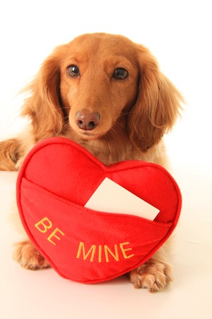 Dachshund puppy with a heart shaped pillow that says be mine  Add your own text  photo
