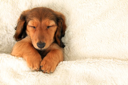 Longhair dachshund puppy asleep on a bed