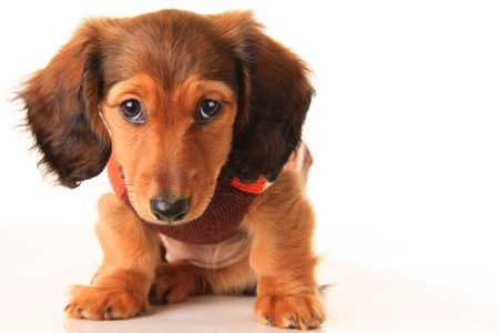 Longhair dachshund puppy, isolated on white
