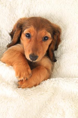 Longhair dachshund puppy on a white blanket  photo