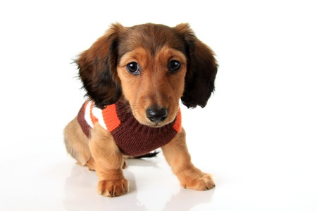 Longhair dachshund puppy photo