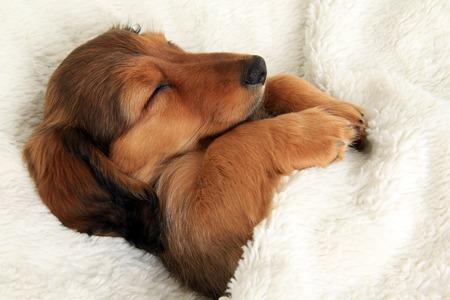 Longhair dachshund puppy sleeping in her bed