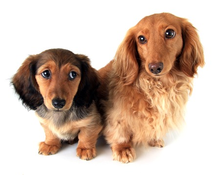closeup puppy: Longhair dachshund puppy and mother, isolated on white