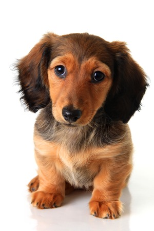 Longhair dachshund puppy isolated on white