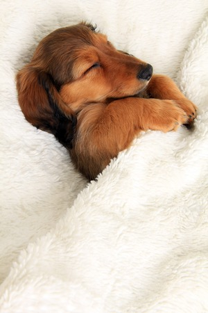Dachshund puppy sleeping on a blanket