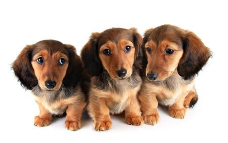doxie: Three Longhair dachshund pupp ies, isolated on white