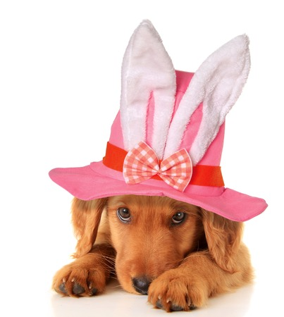 Cute puppy wearing an Easter bunny hat   photo