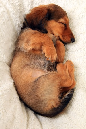 Dachshund puppy sleeping on a blanket