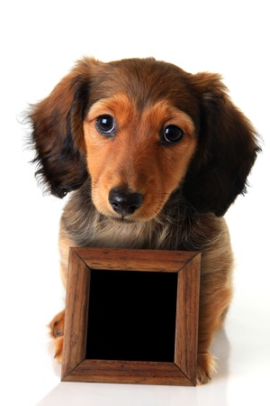 Longhair dachshund puppy isolated on white holding a chalk board sign  Add your own text   photo