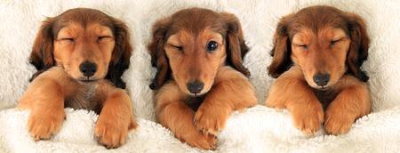 ダックスフンド子犬ベッド 3 つは群集の概念