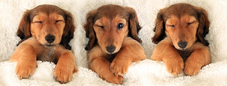 Three dachshund puppies in bed  Three is a crowd concept   Stock Photo