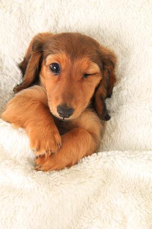 Longhair dachshund puppy in bed, winking