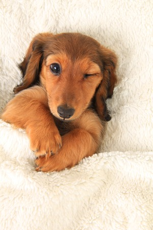 Longhair dachshund puppy in bed, winking