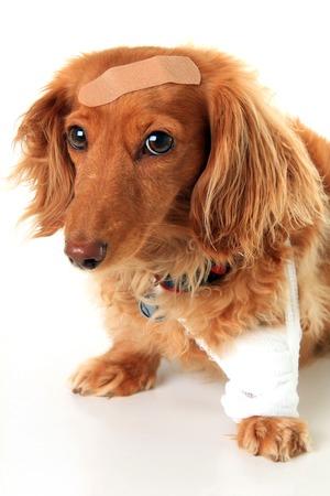 pierna rota: Perro Dachshund llevando una venda Foto de archivo