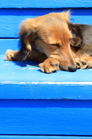 Longhair Dachshund puppy on weathered blue .Also available in horizontal