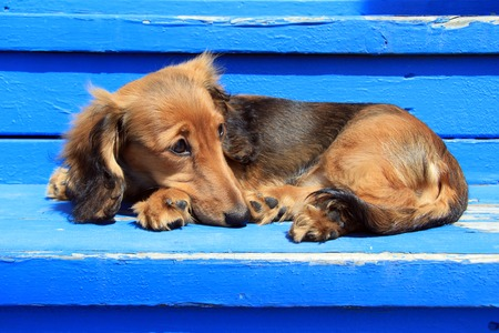Longhair Dachshund puppy on weathered blue also available in vertical   photo