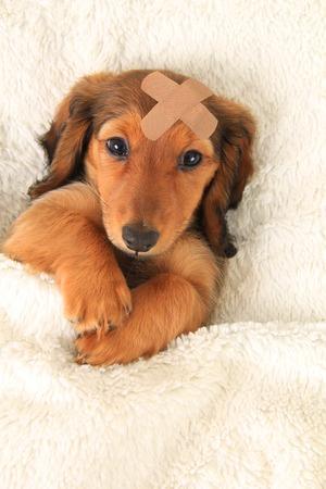 Longhair dachshund puppy wearing a band aid