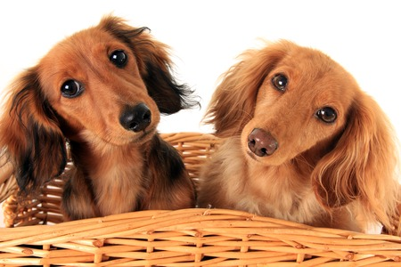 Two dachshund puppies in a basket  I asked them if they wanted a treat, and these are the faces they gave me   photo