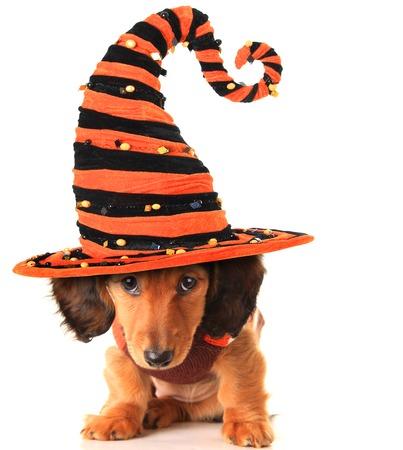 Longhair dachshund puppy, wearing a Halloween witch hat.