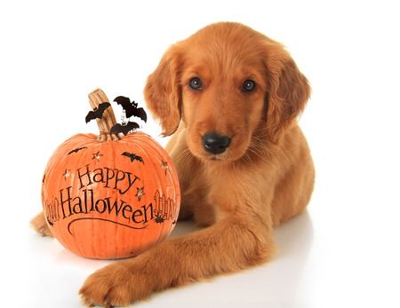Cute Halloween puppy with a pumpkin. Stok Fotoğraf - 31394112