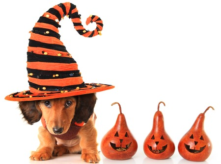Longhair dachshund puppy, wearing a Halloween witch hat. photo