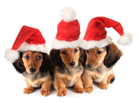 Tekkel van Kerstmis puppies dragen Santa hoeden. Stockfoto