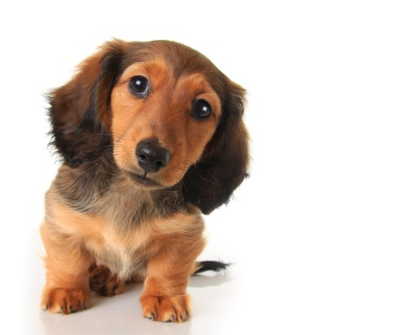 lapdog: Longhair dachshund puppy studio isolated on white.