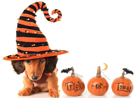 Halloween dachshund puppy wearing a Halloween witch hat plus pumpkins. Stock Photo