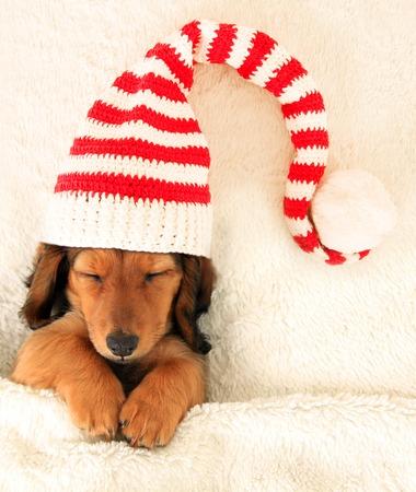 Sleeping dachshund puppy wearing a Christmas elf hat. Archivio Fotografico