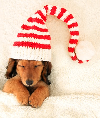 Sleeping dachshund puppy wearing a Christmas elf hat. Stock Photo