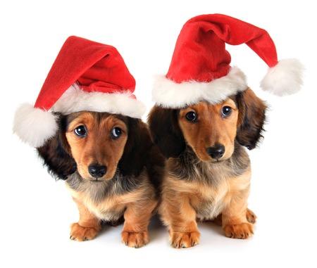 Christmas dachshund puppies wearing Santa hats. Stock Photo