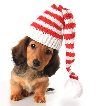 Longhair dachshund puppy wearing a Christmas Santa hat. Archivio Fotografico