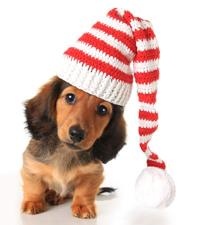 Longhair dachshund puppy wearing a Christmas Santa hat. Stock Photo