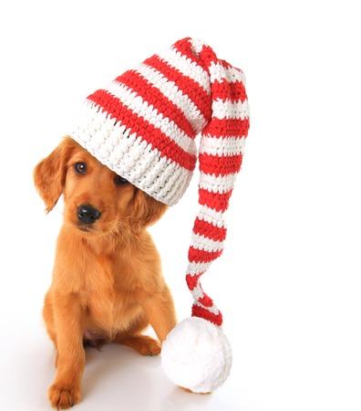 irish christmas: An irish setter puppy wearing a Christmas Santa hat.