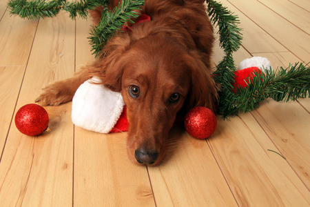 irish christmas: Irish Setter dog with Santa hat and Christmas ornaments.