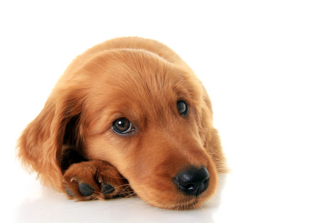 Irish Setter puppy isolated on white. photo